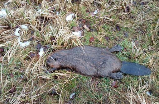 Toter Biber am Straßenrand gefunden