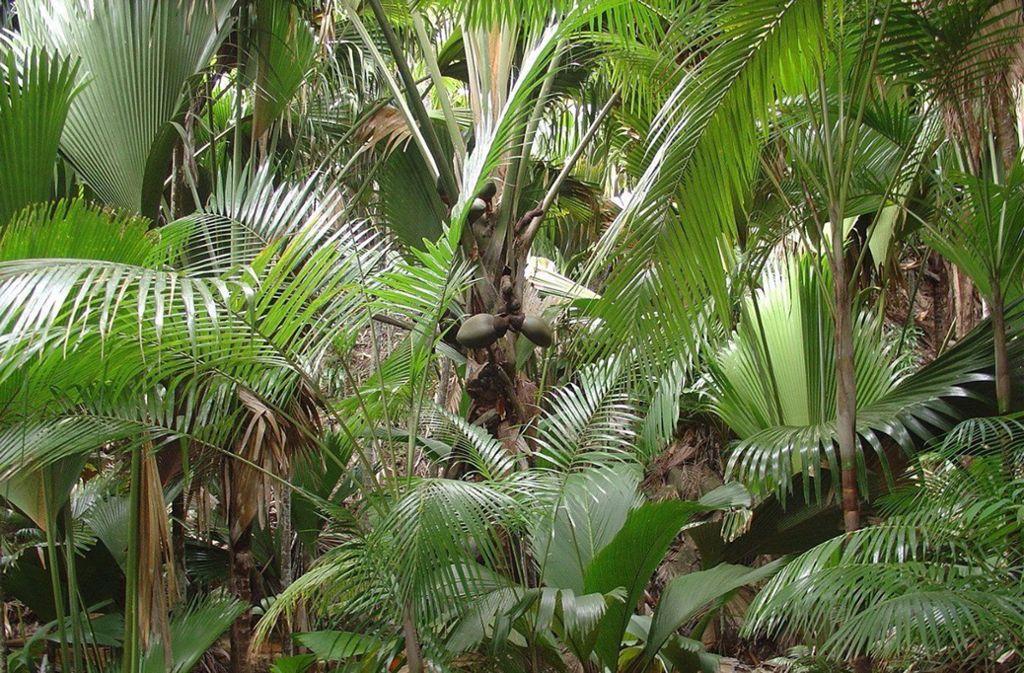 """So üppig wie hier der Wald """"Vallée de Mai"""" auf der Seychellen-Insel Praslin wird ein Palmengarten hierzulande eher nicht wachsen. Doch es gibt einige Sorten, die auch Minusgrade überstehen und sich für Gärten in Mitteleuropa eignen. Foto: dpa"""