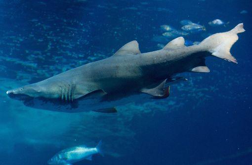 Haie sterben im Aquarium