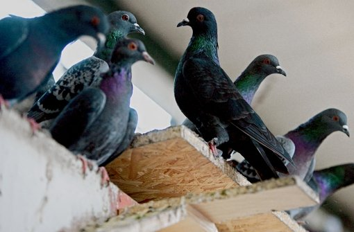 Mehr Einsatz für weniger Tauben