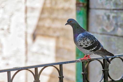 Wie kann man Tauben vertreiben von Balkon & Co?