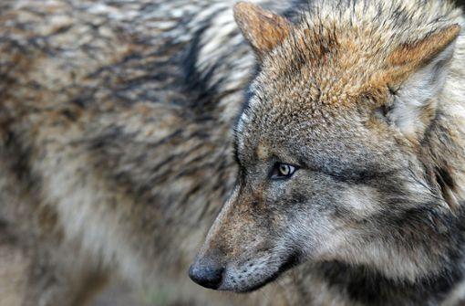 Dritter Wolf wird heimisch