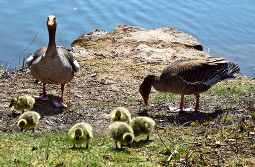 Gänse am Probstsee haben flauschigen Nachwuchs