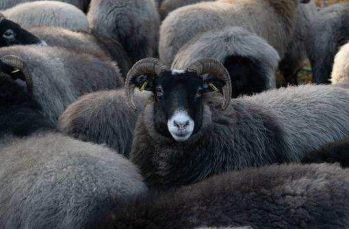 Entlaufene Schafe unterbrechen zeitweise Zugverkehr