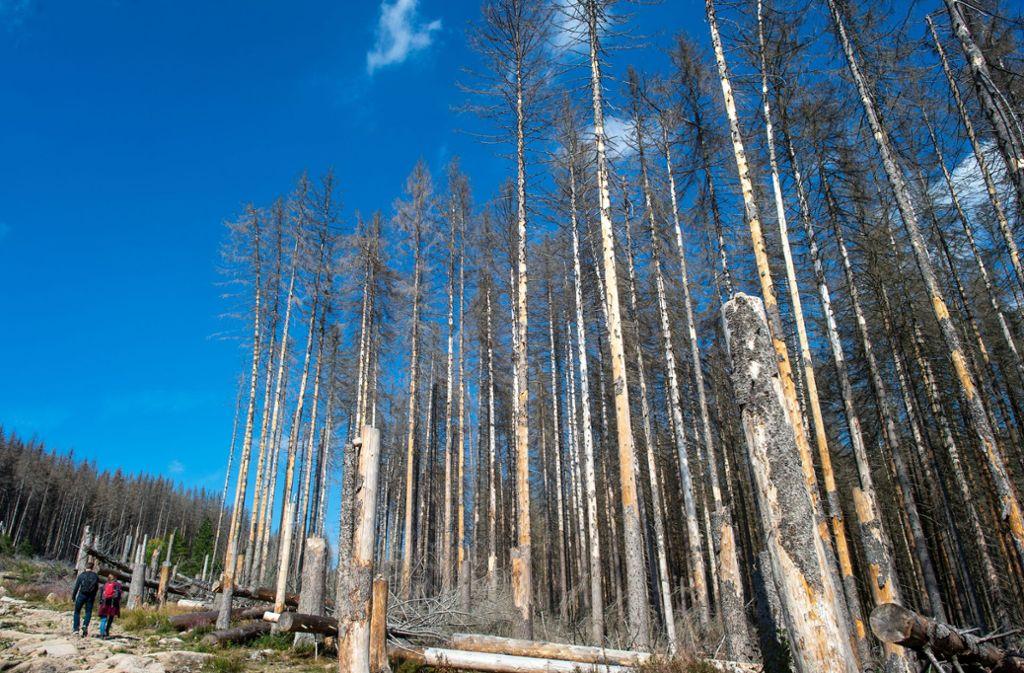 Wanderer gehen bei Wernigerode im Nationalpark Harz (Sachsen-Anhalt) an abgestorbenen Fichten vorbei. Die Nadelbäume fielen dem Borkenkäfer zum Opfer. Foto: dpa/Klaus-Dietmar Gabbert