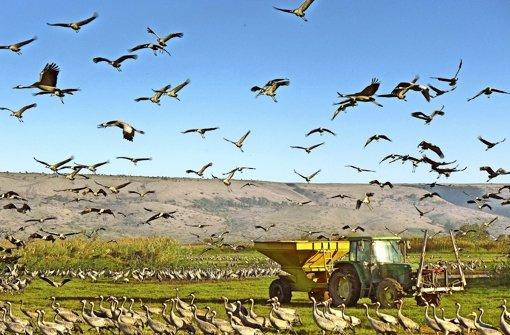 Zehntausende Kraniche überwintern im israelischen Hula-Tal und müssen gefüttert werden, damit sie die Felder in der Umgebung nicht plündern. In einer Galerie zeigen wir weitere Bilder aus dem Tal im Norden Israels. Foto: Mäder