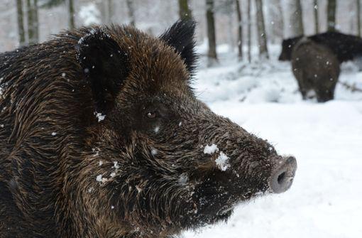 Wildschwein auf  Schulgelände eingesperrt – und später getötet