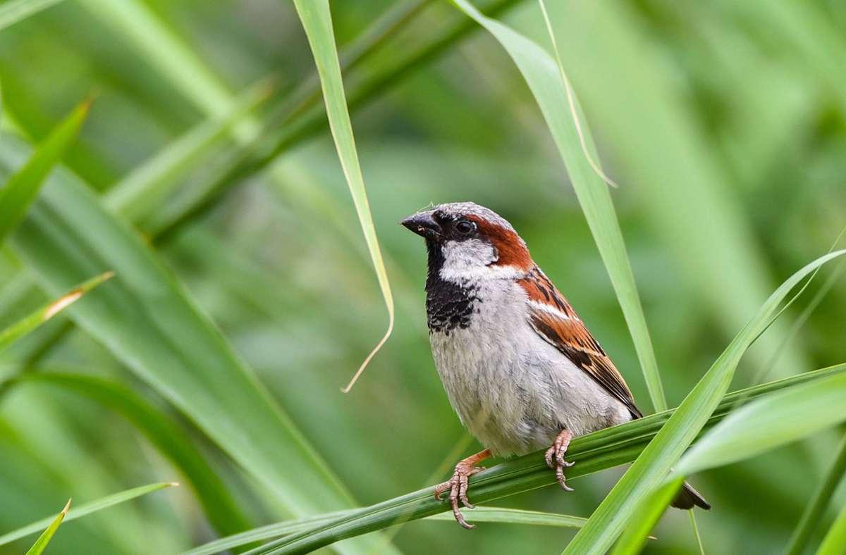 """Der Spatz ist der Spitzenreiter der diesjährigen Vogelzählung zur """"Stunde der Gartenvögel"""" in Baden-Württemberg. Foto: dpa/Nicolas Armer"""