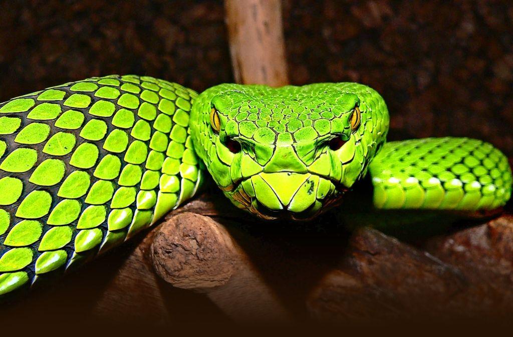 Bitte recht freundlich: Diese 2002 in Thailand entdeckte Schlangenart hört auf den Namen Gumbrechts Grüne Grubenotter  (trimeresurus gumprechti). Foto: WWF
