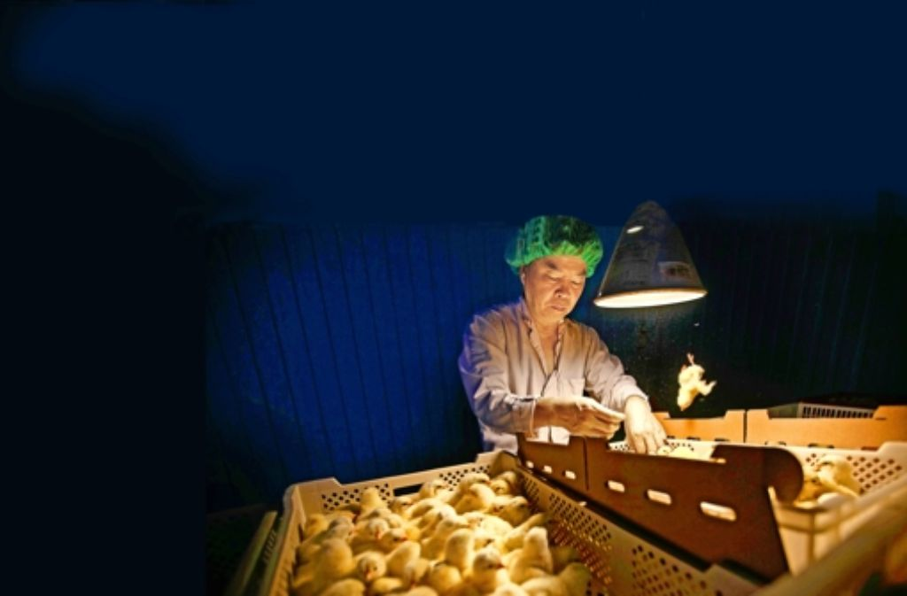 Die Hähne kommen nach rechts, die Hennen nach links –  ein Akkordarbeiter sortiert in einer Eppinger Brüterei   die frisch geschlüpften Küken nach Geschlecht. Foto: Gottfried Stoppel