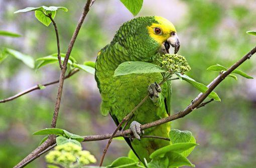 Wie ein Papagei aus  dem Exil zurück zu seiner Liebsten fand