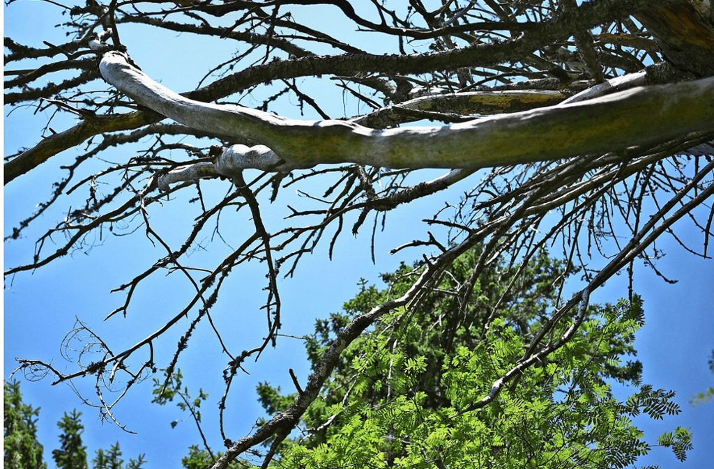 Auch im Schwarzwald, wie hier am Schauinsland, sind die Baumschäden nicht mehr zu übersehen. Foto: dpa/Patrick Seeger