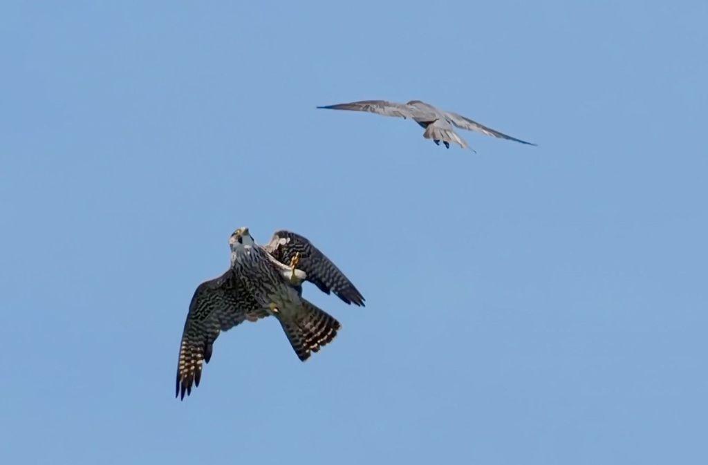 Der Falken-Nachwuchs aus dem Ludwigsburger Schloss hat sich aufgemacht in die Welt. Foto: Udo Rühl
