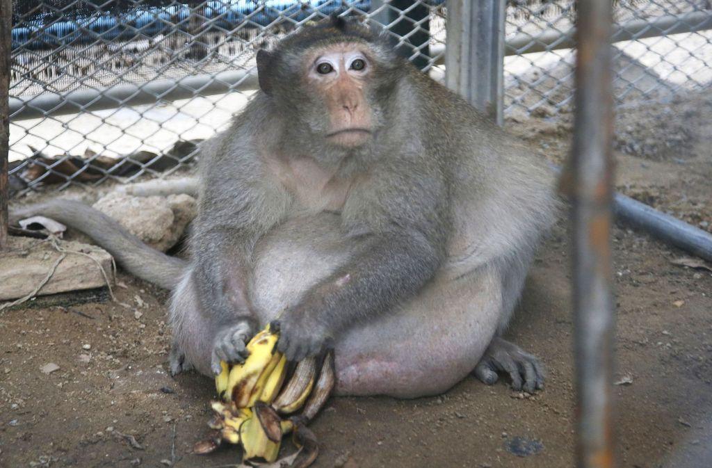 Statt Fast Food und Cola gibt es für diesen Affen in Thailand nur noch Diätkost. In unserer Bildergalerie zeigen wir weitere Fotos des Affen. Klicken Sie sich durhc. Foto: AP