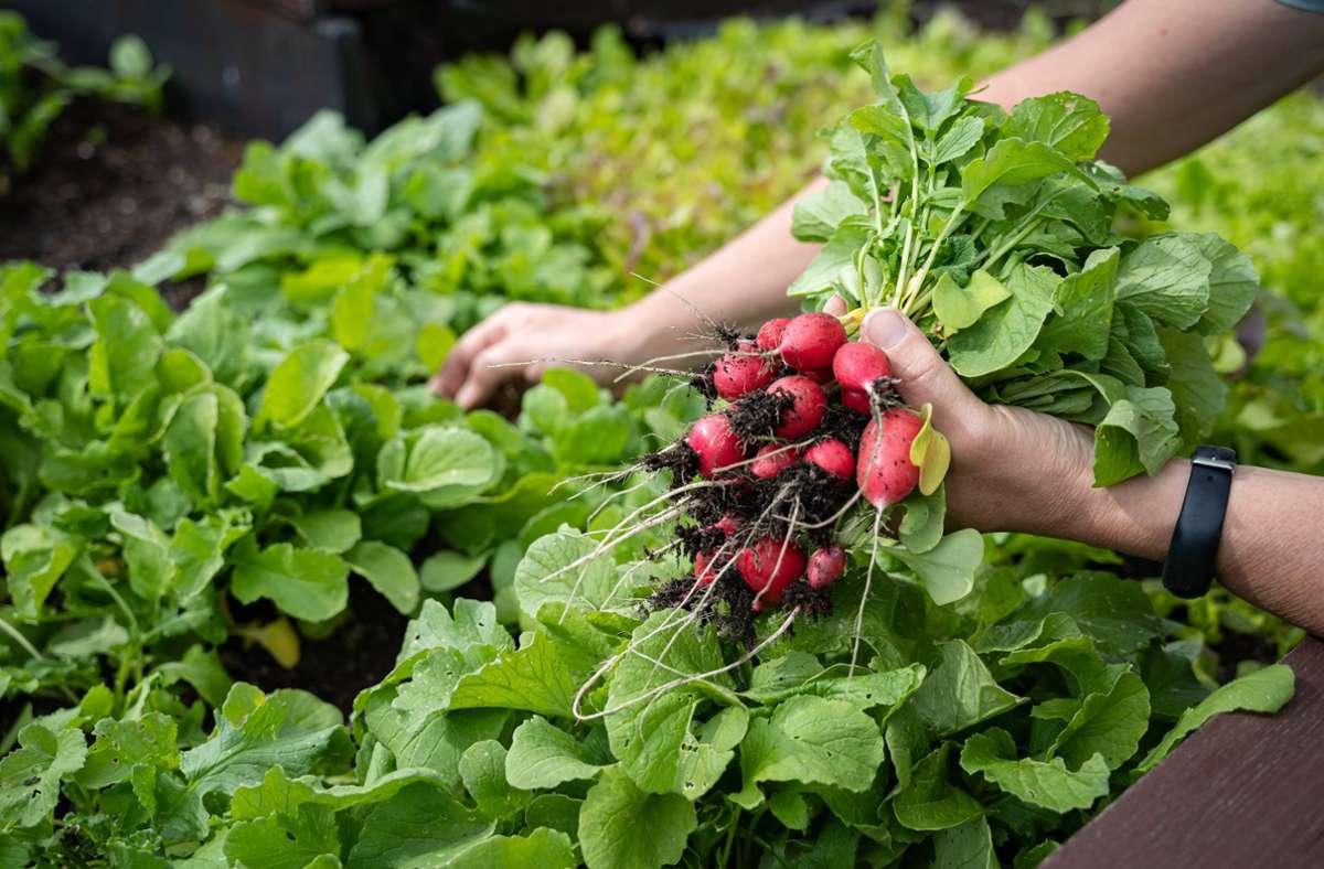 Selbst angebautes  Gemüse kann in einem Hochbeet bequem im Stehen geerntet werden (Symbolbild). Foto: imago images/Countrypixel/via www.imago-images.de
