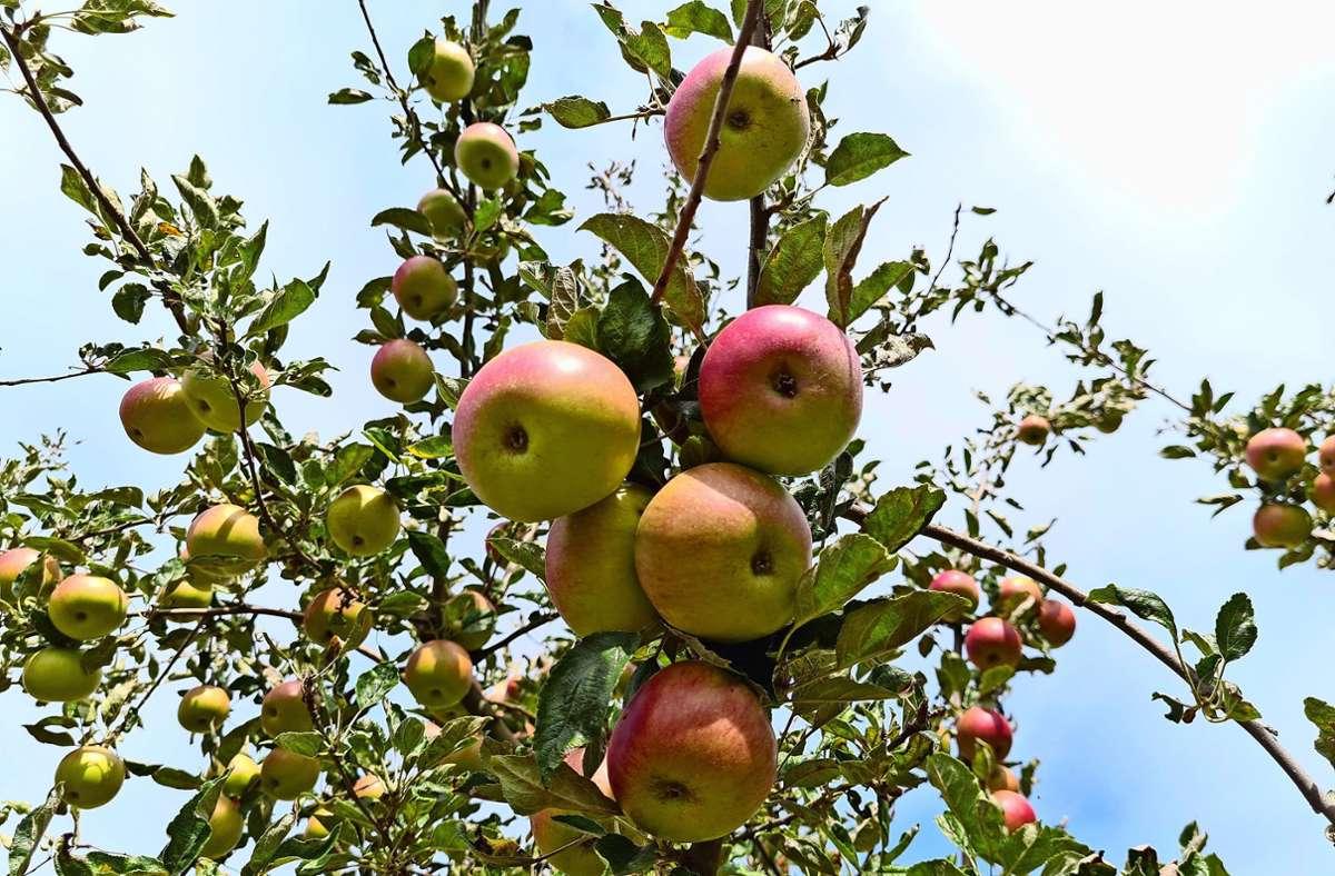 Einige Apfelsorten  haben bereits  rote Bäckchen und werden geerntet. Foto: Patricia Sigerist