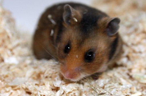 Das sind die beliebtesten Hamster-Videos