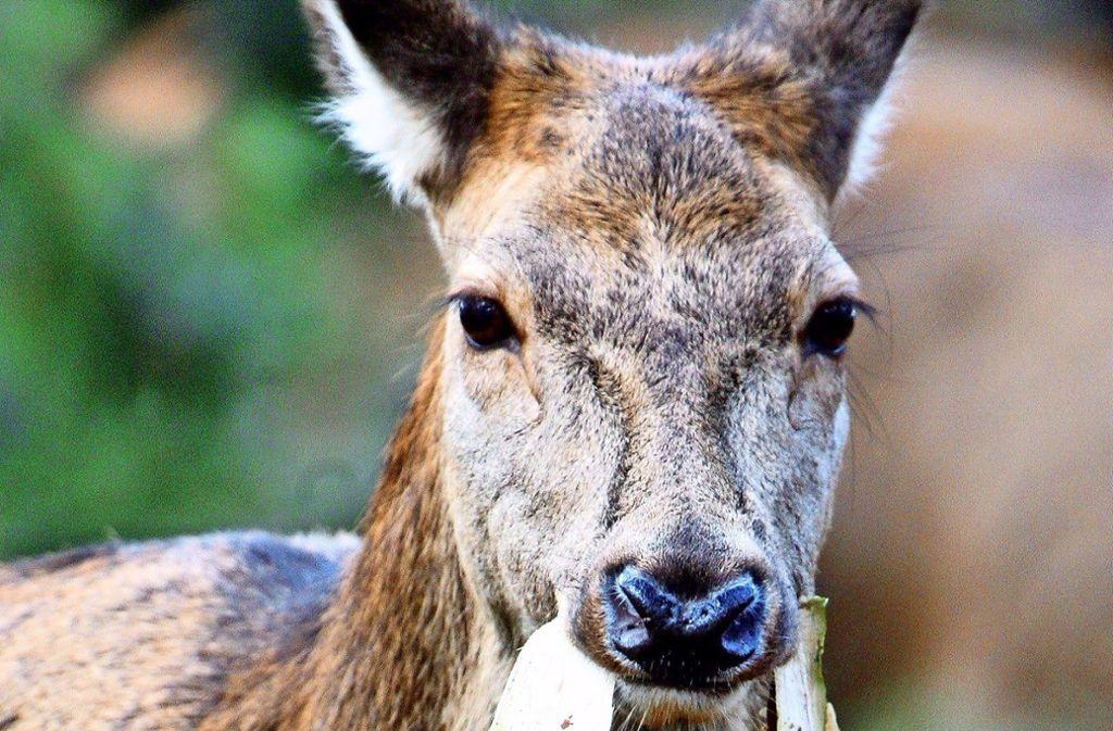 Rehe haben viel übrig für junge Bäumchen. Das junge Grünzeug ist eine Leibspeise für die scheuen Tiere. Foto: dpa/Jan Woitas