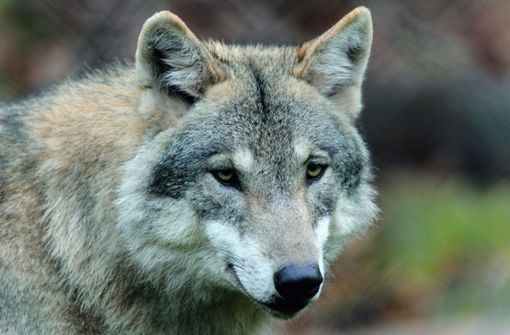 Wölfe müssen im Notfall geschossen werden