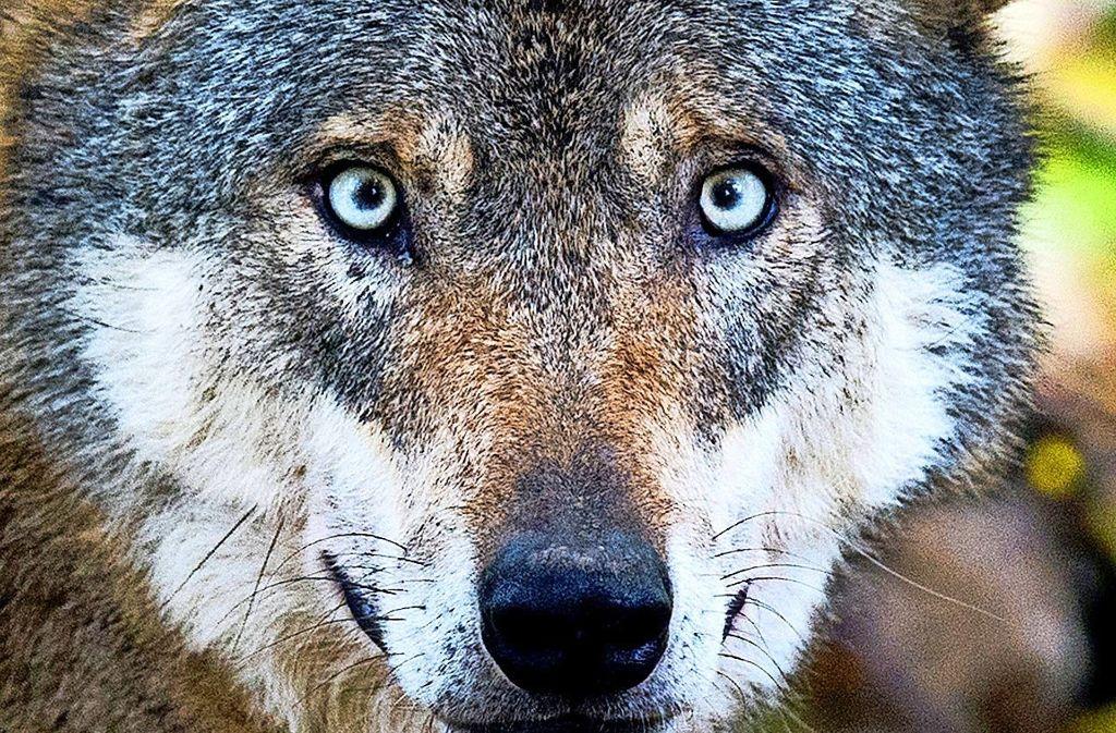Das Thema Wolf ist   emotional besetzt. Foto: dpa