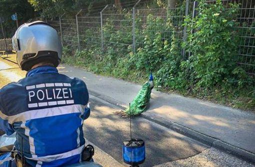 Pfau büxt aus der Wilhelma aus – und hält die Polizei auf Trab