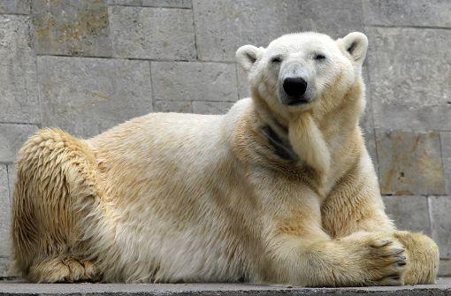 Vater des berühmten Eisbären Knut ist tot