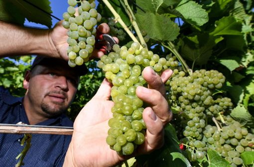 Die ersten Winzer schreiten zur Weinlese