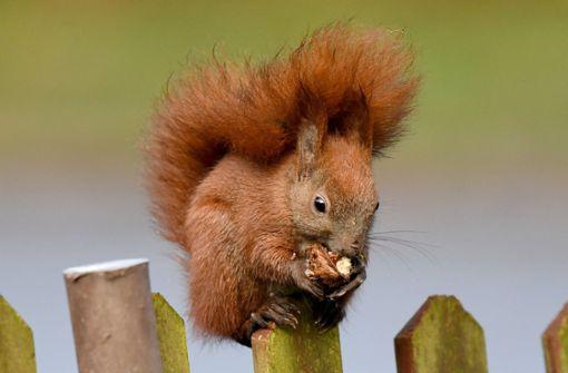 Eichhörnchen unterm Kissen erschreckt Frau