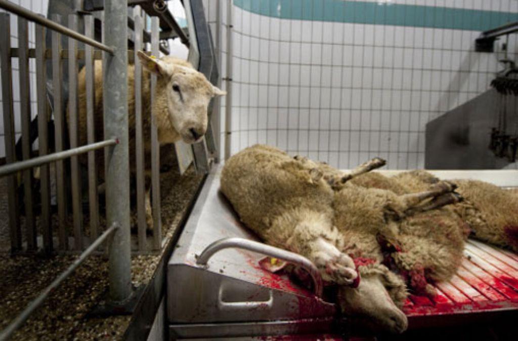 Das Tier solle arglos sein, steht im Koran. Im Schlachthofalltag sieht das manchmal anders aus. Foto: Stollberg