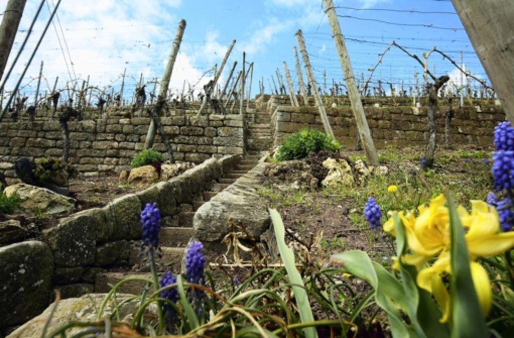 Wenn es nach dem Willen des Oberbürgermeisters geht, soll die vom Weinbau geprägte Landschaft erhalten bleiben. Foto: Achim Zweygarth