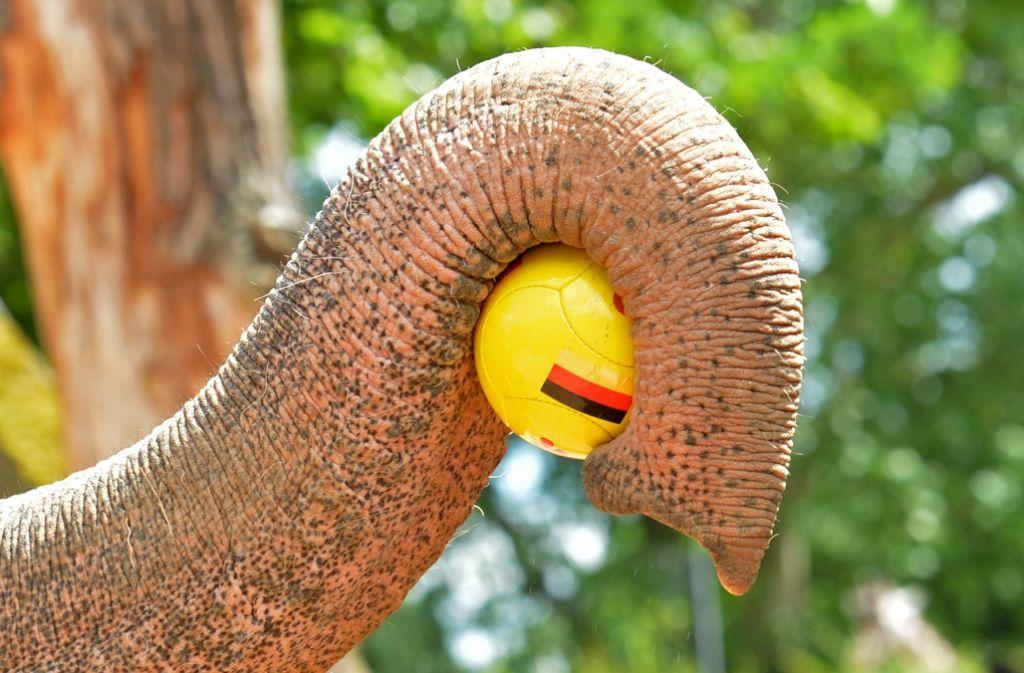 Wilhelma-Elefantenkuh Zella mit Deutschlandball Foto: