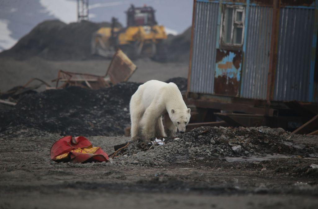 Dieser hungrige Eisbär ist auf Nahrungssuche  in Sibirien in das Dorf Norilsk  vorgedrungen. Foto: Irina Yarinskaya/Zapolyarnaya Pravda/dpa