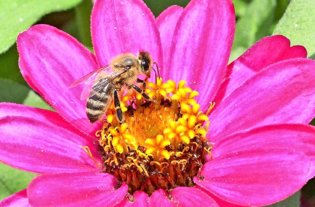 Seit Jahren beobachten Wissenschaftler, dass es immer weniger Bienen gibt. Foto: Hintermayr