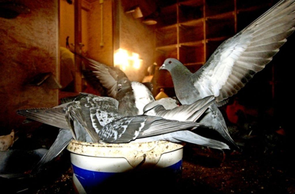 Taubenschläge sind die einzige Möglichkeit, die Zahl der ungeliebten Vögel zu mindern. Das Bild entstand in einem der beiden Schläge in der Leonhardskirche. Foto: StZ