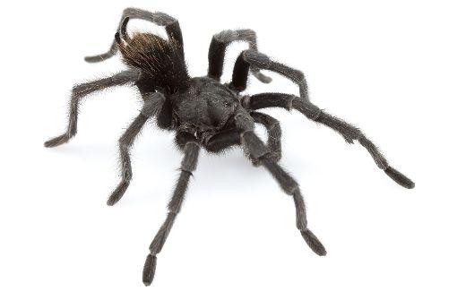 Mann schenkt Frau Spinne und löst Krise aus