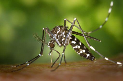So soll die Asiatische Tigermücke bekämpft werden