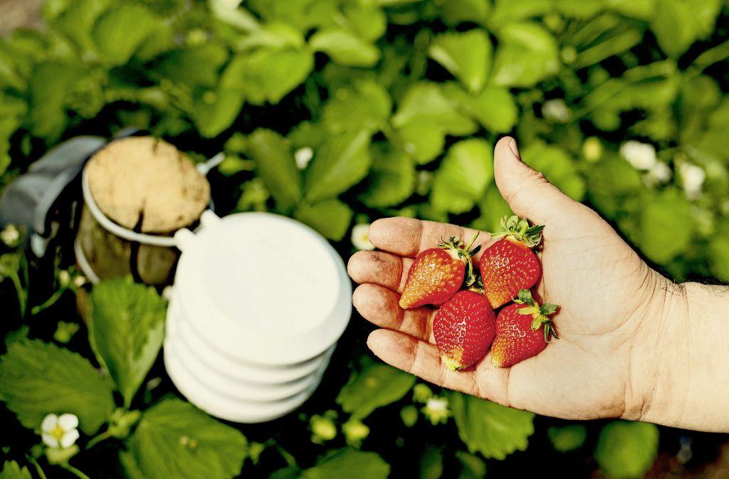 Sensoren erfassen  Feuchte und Temperatur in einer Erdbeerplantage – und warnen den Landwirt per Smartphone vor drohendem Pilzbefall oder Frost. Foto: Bosch