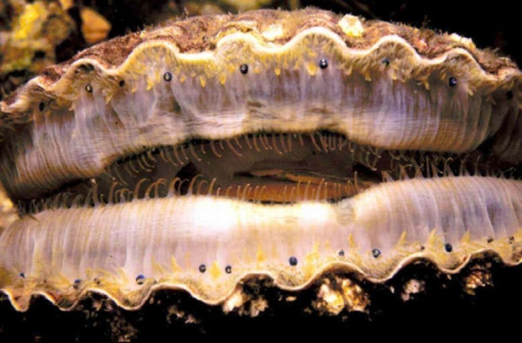Die Jakobsmuschel verfügt über einen kräftigen Muskel zwischen den Schalen. Foto: NOAA