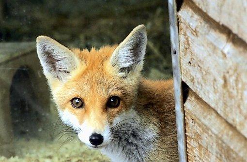 26. Juni: Auto überschlägt sich wegen Fuchs