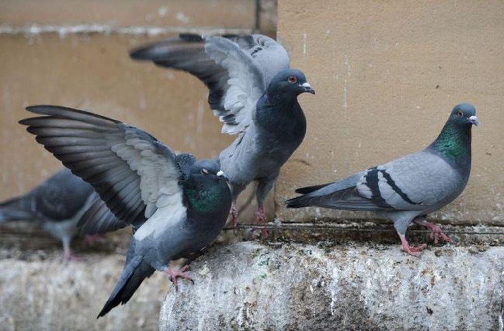 In der Leonberger Altstadt sind mehrere tote Tauben gefunden worden. Foto: dpa