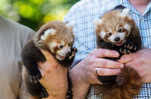 Niedlicher Nachwuchs bei Kleinen Pandas