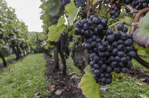 Württemberger Wein weiter auf Wachstumskurs