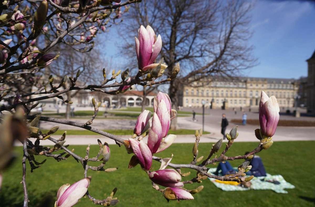 Am Schlossplatz blühen schon die ersten Magnolien. Foto: Andreas Rosar//Fotoagentur-Stuttg
