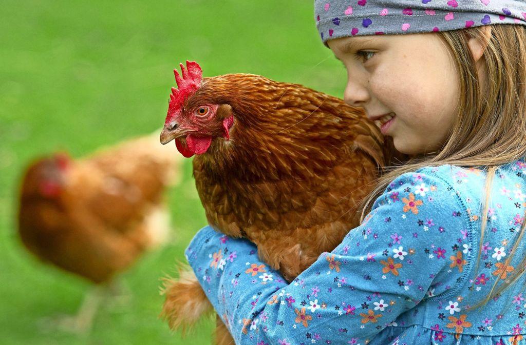 Hühner aus Massenbetrieben sehen nicht so schön aus wie gesunde Tiere. Foto: dpa