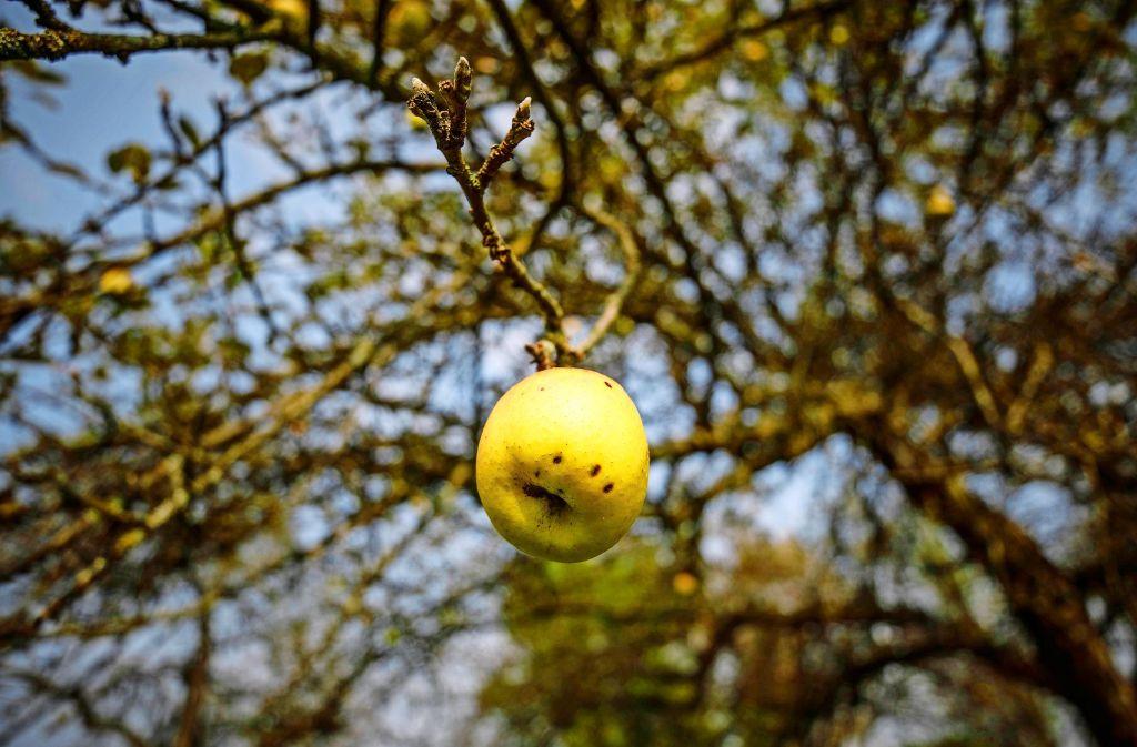 Wie kommt der Apfel eigentlich an den Baum? Foto: Gottfried Stoppel