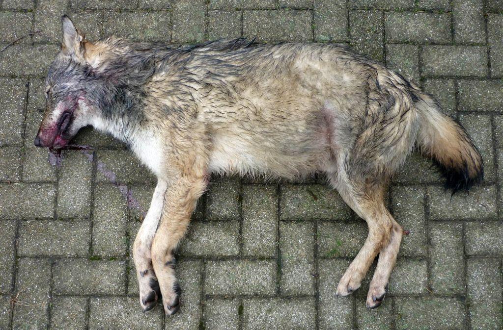 Tierschützer setzen eine Belohnung aus: 18 Wölfe wurden illegal getötet – laut Tierschützer sollen diese Taten strafrechtlich verfolgt werden. (Symbolbild) Foto: dpa