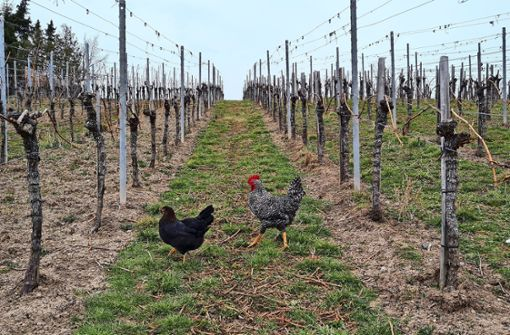 Ein Paradies für Hühner und Hähne