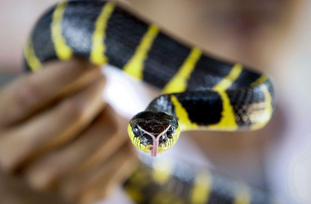 Ein Schlangen-Experte zeigt eine giftige Mangroven-Nachtbaumnatter in einer Schlangenfarm in Bangkok (Thailand). Giftige Schlangen sind eine Gefahr für fast sechs Milliarden Menschen weltweit. Jeden Tag werden fast 7400 Menschen von giftigen Schlangen gebissen, 2,7 Millionen Menschen im Jahr. Foto: Diego Azubel/EPA/dpa