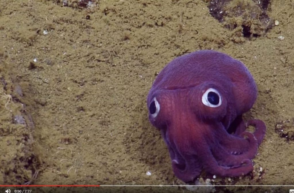 Dieser kleine Oktopus verzückt derzeit viele Internetnutzer. Foto: Screenshot Youtube / EVNautilus