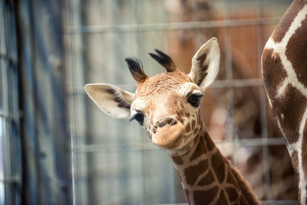Giraffenbaby Dschibuto hat in der Stuttgarter Wilhelma das Licht der Welt erblickt. Foto: www.7aktuell.de   Florian Gerlach